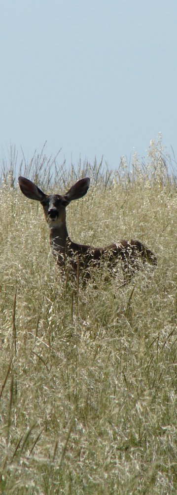 Deer in restored native grassland. Photo by Andrew Rayburn